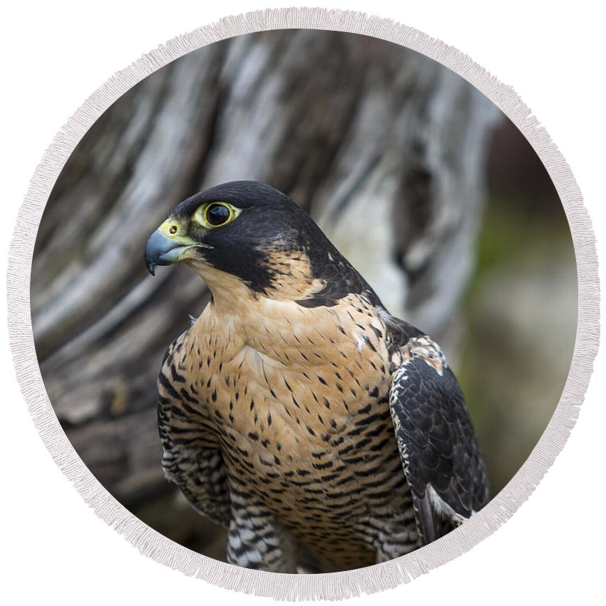 Aerial Round Beach Towel featuring the photograph Peregrine Falcon by Jack R Perry