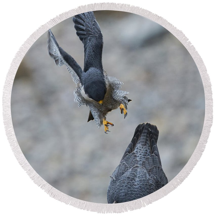 Peregrine Falcon Round Beach Towel featuring the photograph Peregrine Falcons Mating by Anthony Mercieca