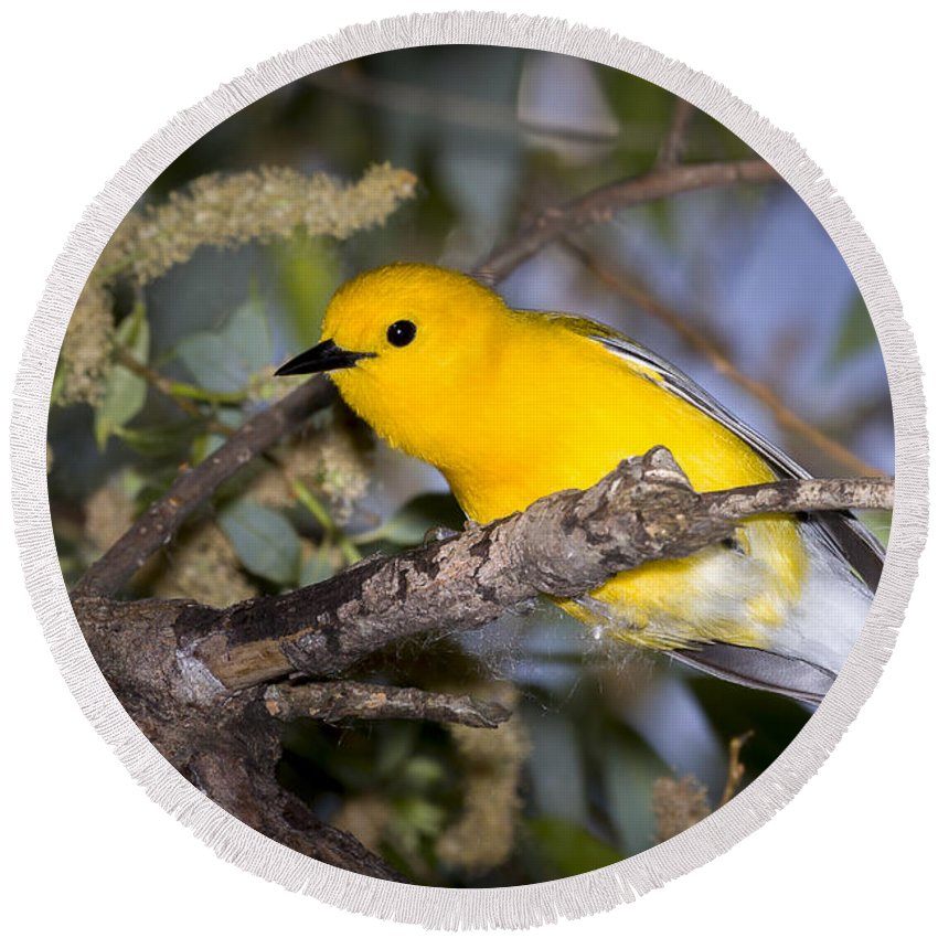 Animal Round Beach Towel featuring the photograph Prothonotary Warbler by Jack R Perry