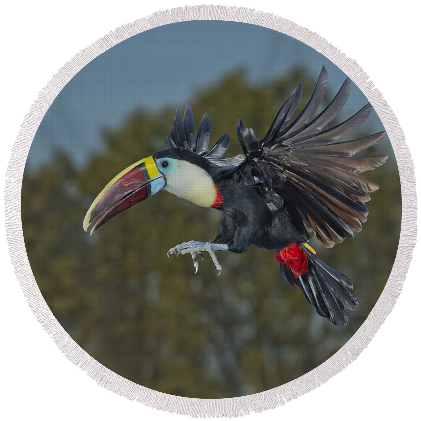 Red-billed Toucan Round Beach Towel featuring the photograph Red-billed Toucan by Anthony Mercieca