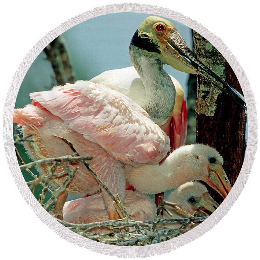 Animal Round Beach Towel featuring the photograph Roseate Spoonbill Adult With Young by Millard H. Sharp