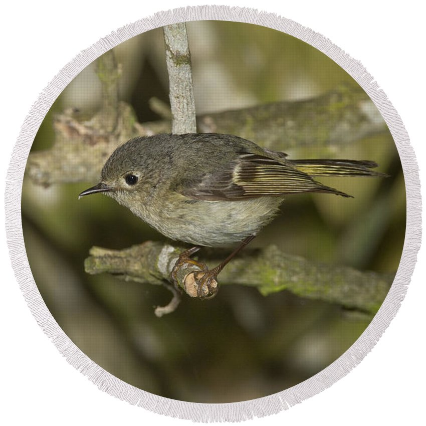 Ruby-crowned Kinglet Round Beach Towel featuring the photograph Ruby-crowned Kinglet by Anthony Mercieca