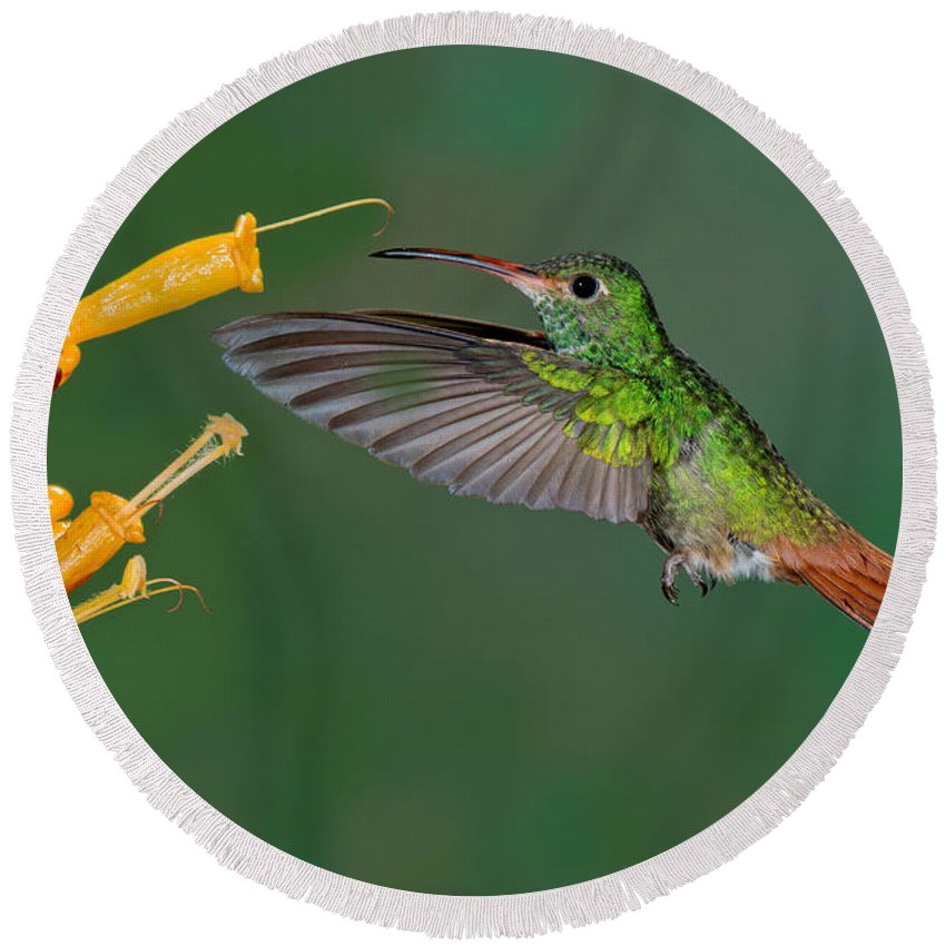 Rufous-tailed Hummingbird Round Beach Towel featuring the photograph Rufous-tailed Hummer by Anthony Mercieca