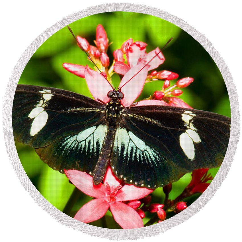 Nature Round Beach Towel featuring the photograph Sapho Longwing Butterfly by Millard H. Sharp