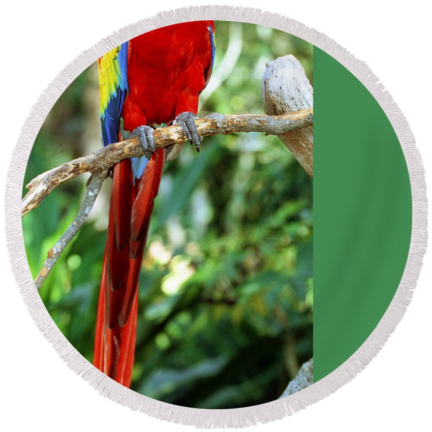 Scarlet Macaw Round Beach Towel featuring the photograph Scarlet Macaw by Millard H Sharp