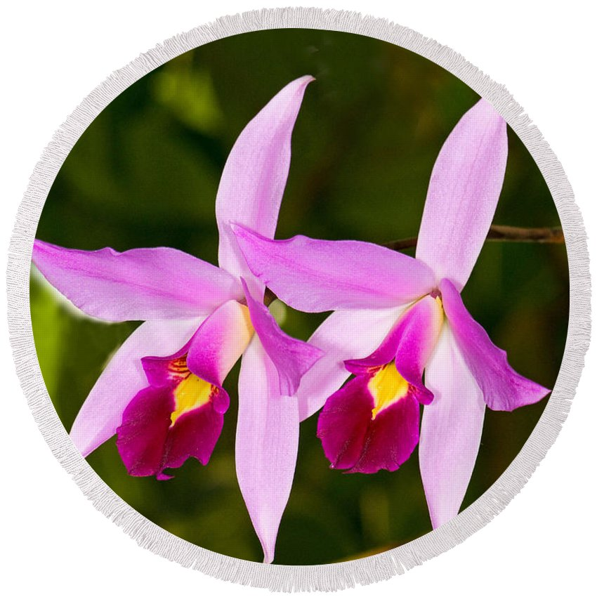 Plant Round Beach Towel featuring the photograph Sophronitis Orchid by Millard H. Sharp