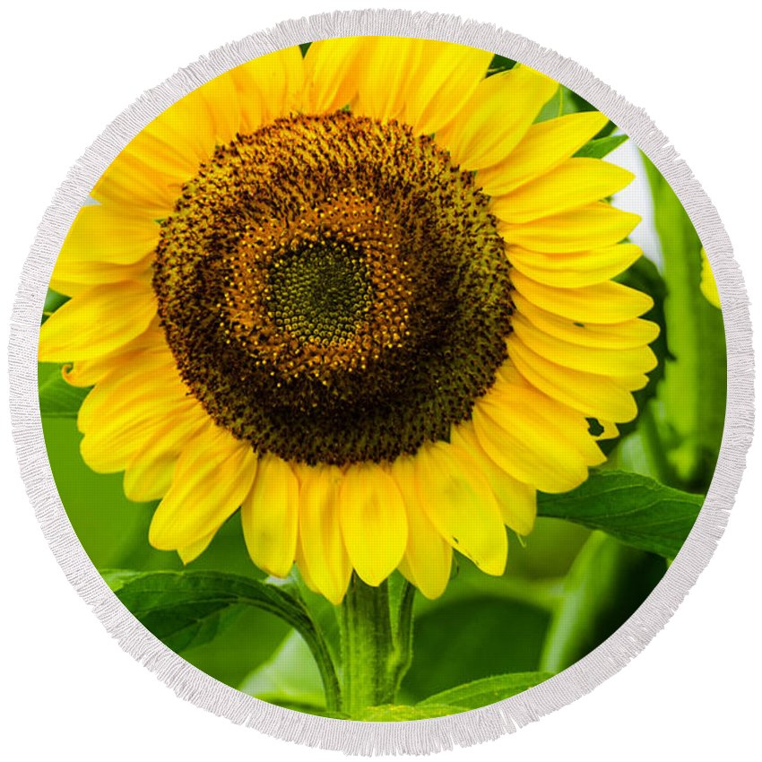 Mexican Round Beach Towel featuring the photograph Sunflower by Michael Moriarty