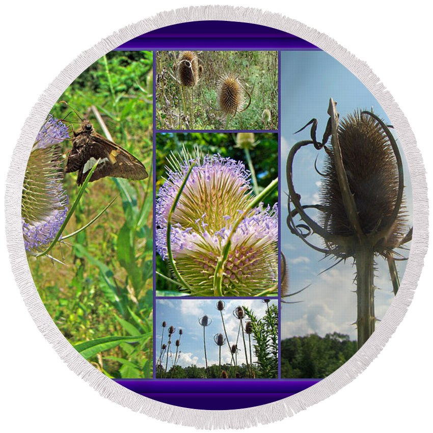 Collage Round Beach Towel featuring the photograph Teasel Thistle - Dipsacus Fullonum by Mother Nature