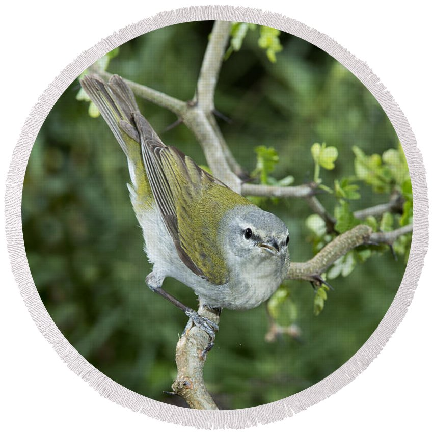 Tennessee Warbler Round Beach Towel featuring the photograph Tennessee Warbler by Anthony Mercieca