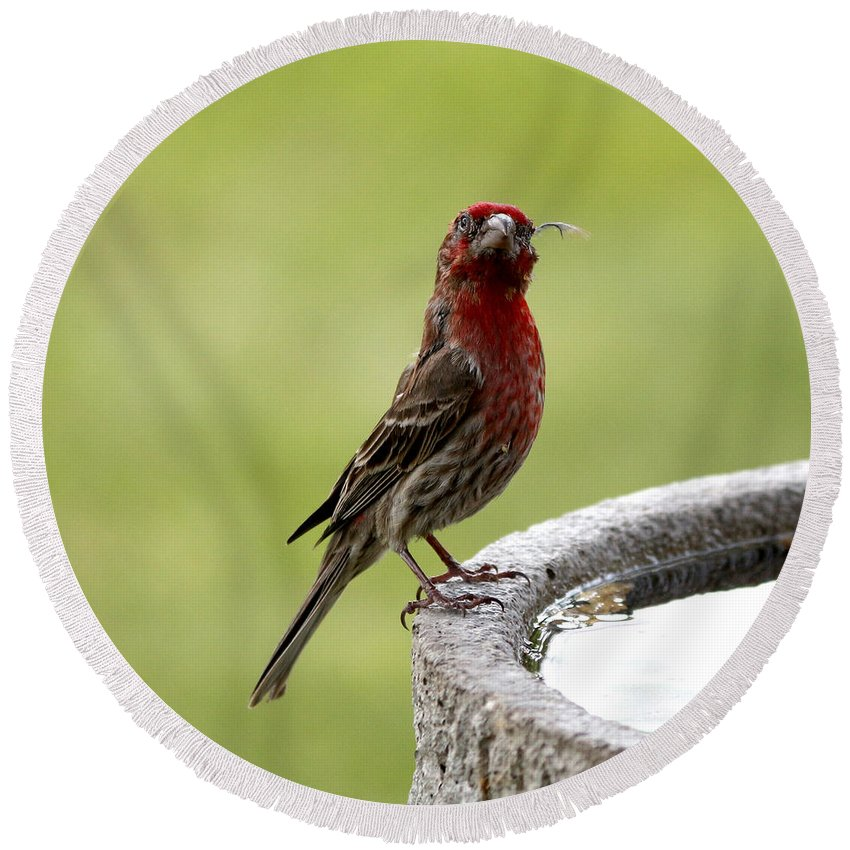 House Finch Round Beach Towel featuring the photograph The Fighter by Lori Tordsen