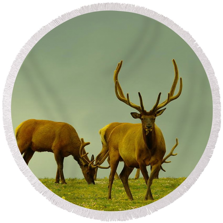 Elk Round Beach Towel featuring the photograph Three Bull Elk Grazing by Jeff Swan