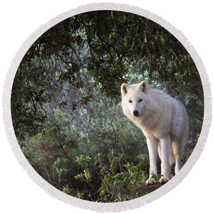 Lobo Park Round Beach Towel featuring the photograph Timber Wolf by Angel Ciesniarska