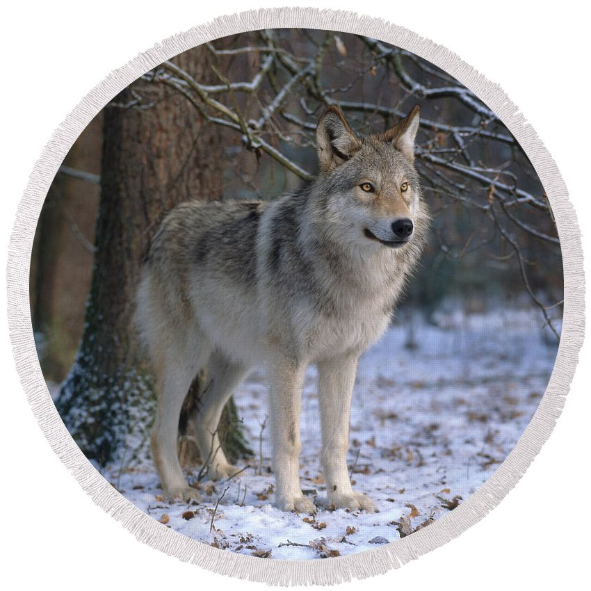 Gray Wolf Round Beach Towel featuring the photograph Timber Wolf by Hans Reinhard