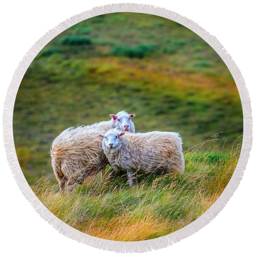 Europe Round Beach Towel featuring the photograph Two Sheep by Alexey Stiop
