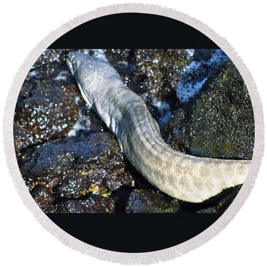Hawaii Round Beach Towel featuring the photograph White Moray Eel by Lehua Pekelo-Stearns