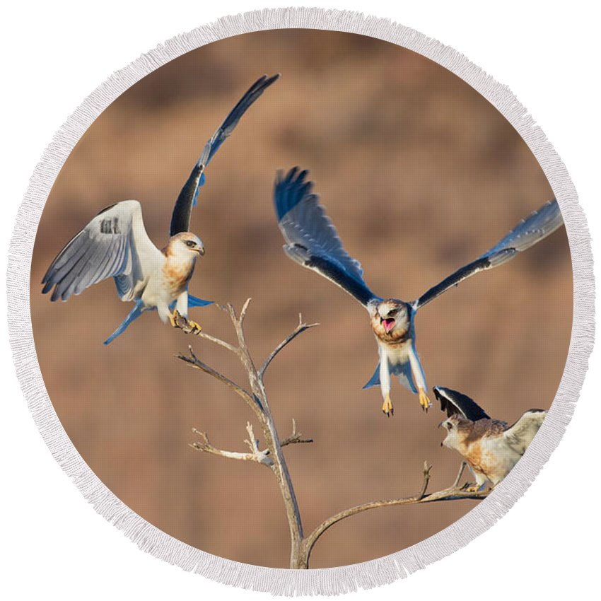 Animal Round Beach Towel featuring the photograph White-tailed Kite Siblings by Anthony Mercieca