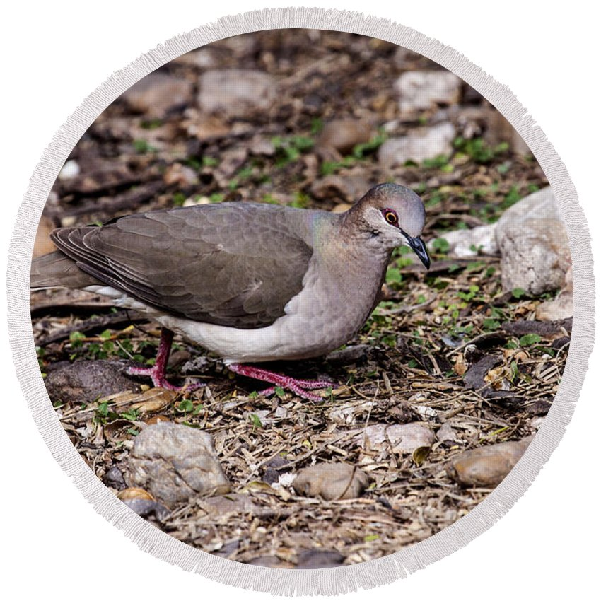 Doug Lloyd Round Beach Towel featuring the photograph Whitetipped Dove by Doug Lloyd