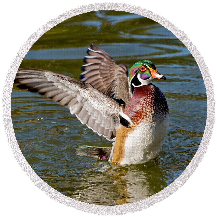 Wood Duck Round Beach Towel featuring the photograph Wood Duck Drake Flapping Wings by Anthony Mercieca