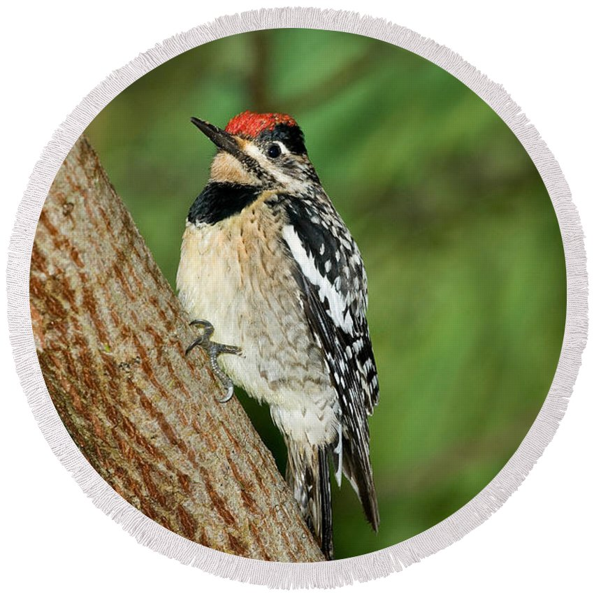 Yellow-bellied Sapsucker Round Beach Towel featuring the photograph Yellow-bellied Sapsucker by Anthony Mercieca
