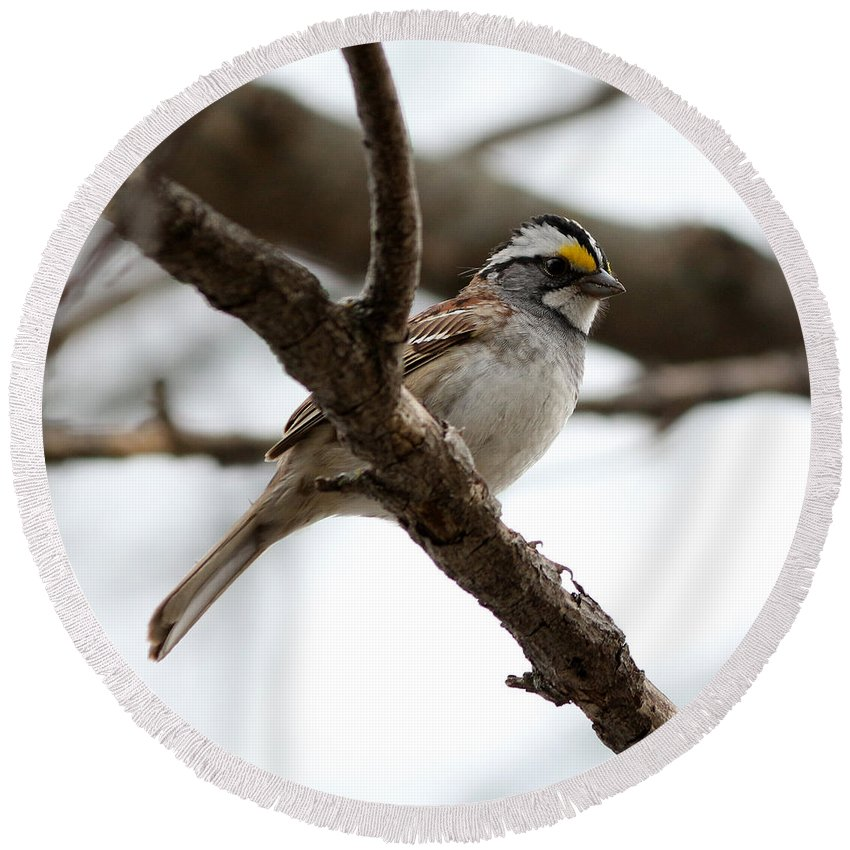 Yellow Crowned Sparrow Round Beach Towel featuring the photograph Yellow Crowned Sparrow by Lori Tordsen