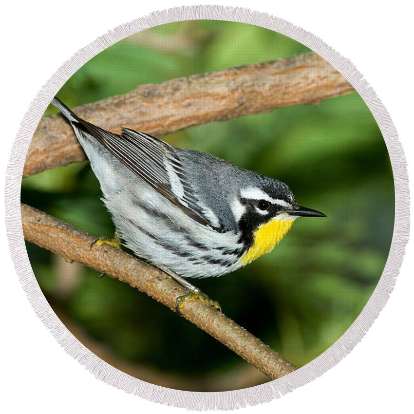 Fauna Round Beach Towel featuring the photograph Yellow-throated Warbler by Anthony Mercieca