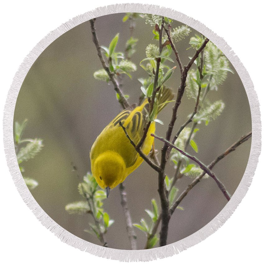 Yellow Warbler Round Beach Towel featuring the photograph Yellow Warbler -1 by Nikki Vig