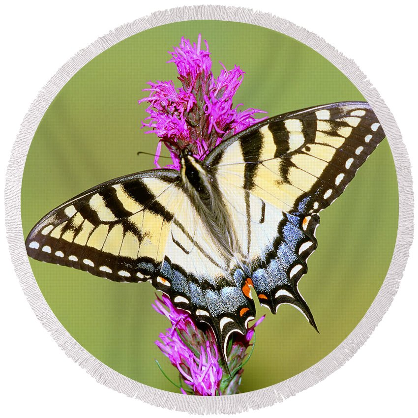 Butterfly Round Beach Towel featuring the photograph Eastern Tiger Swallowtail Butterfly by Millard H. Sharp