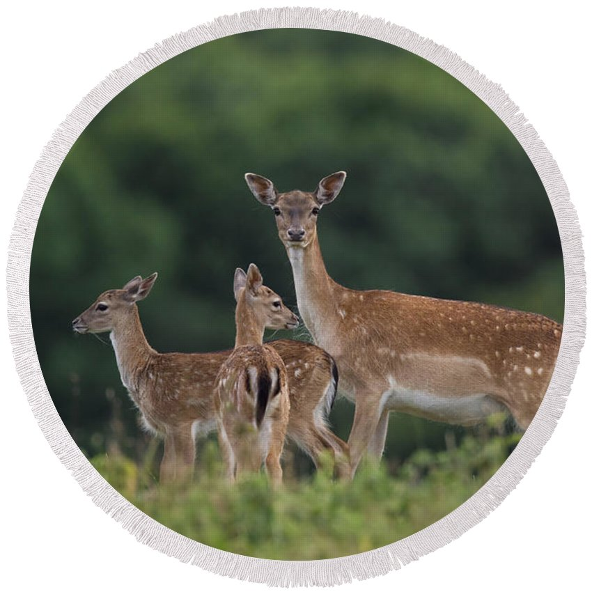 Fallow Deer Round Beach Towel featuring the photograph 110613p159 by Arterra Picture Library