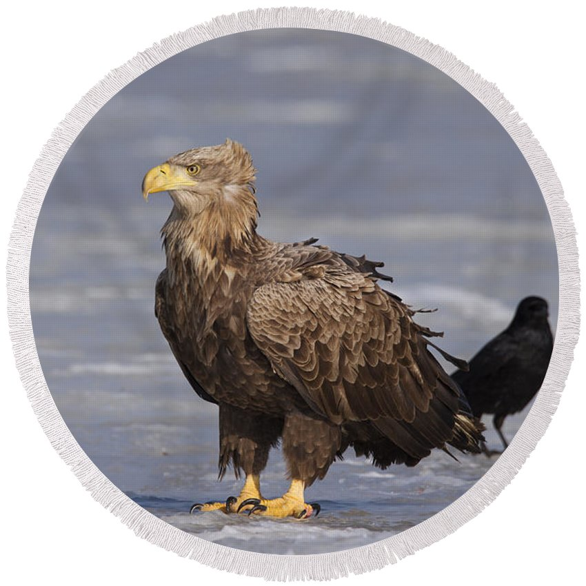 White-tailed Eagle Round Beach Towel featuring the photograph 110613p227 by Arterra Picture Library