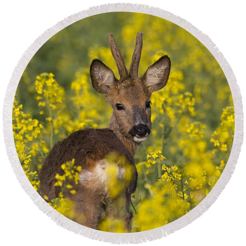 Roe Deer Round Beach Towel featuring the photograph 110714p139 by Arterra Picture Library