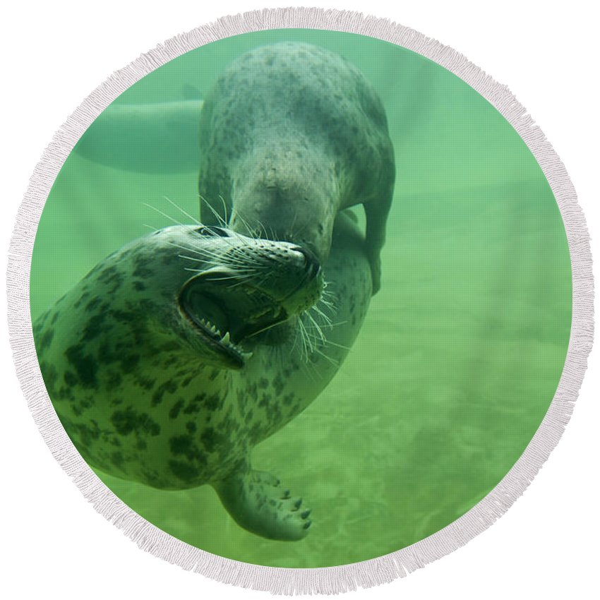 Grey Seal Round Beach Towel featuring the photograph 110714p237 by Arterra Picture Library