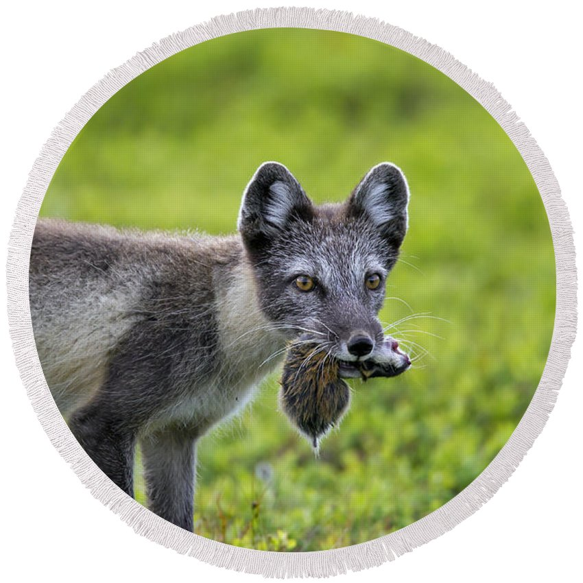 Arctic Fox Round Beach Towel featuring the photograph 111130p047 by Arterra Picture Library