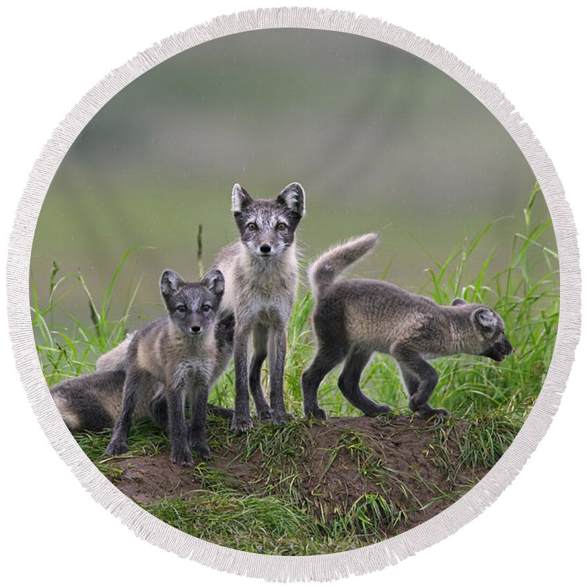 Arctic Fox Round Beach Towel featuring the photograph 111130p062 by Arterra Picture Library