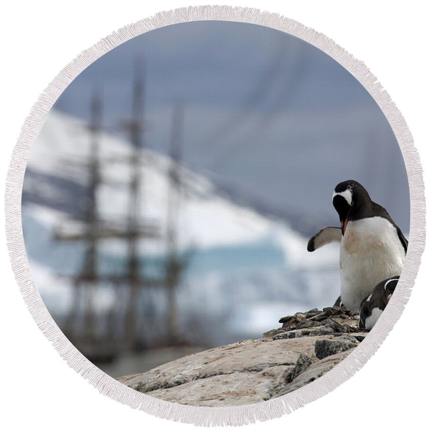 Gentoo Round Beach Towel featuring the photograph 111130p158 by Arterra Picture Library