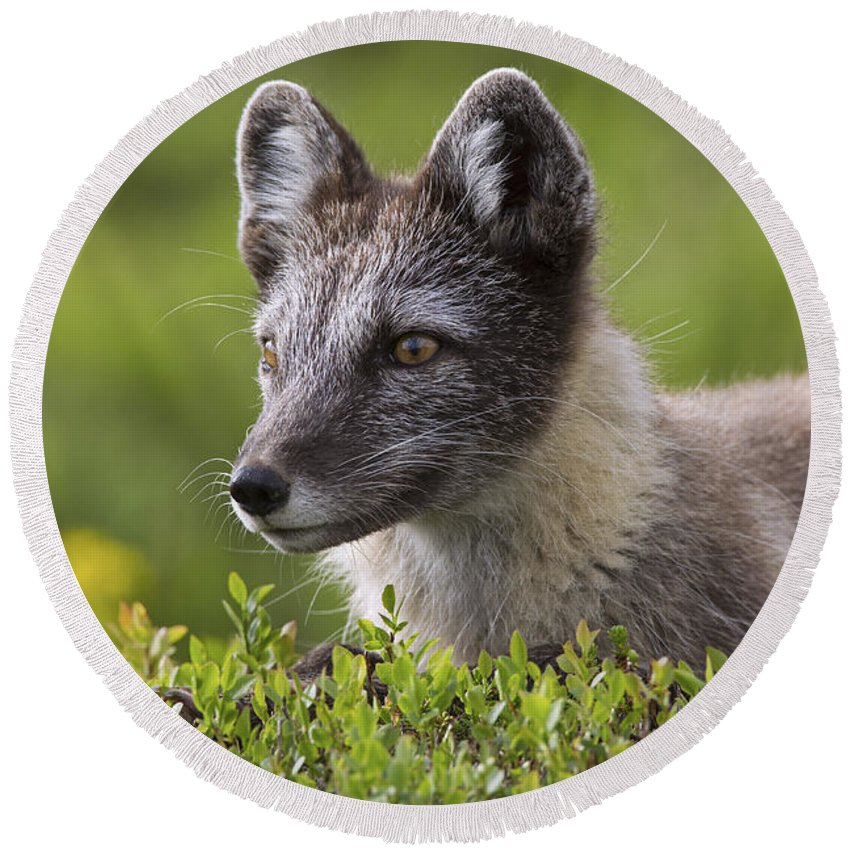 Arctic Fox Round Beach Towel featuring the photograph 111216p030 by Arterra Picture Library