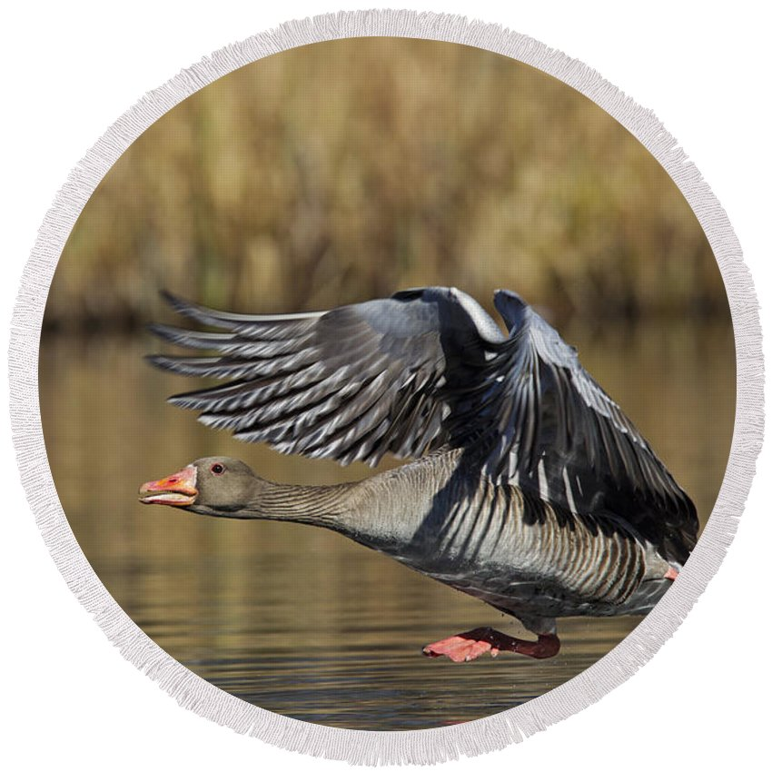 Greylag Goose Round Beach Towel featuring the photograph 111216p036 by Arterra Picture Library