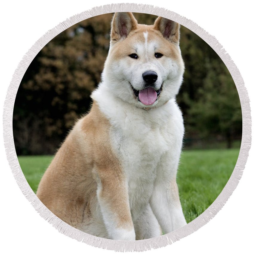 Akita Inu Round Beach Towel featuring the photograph 111216p241 by Arterra Picture Library