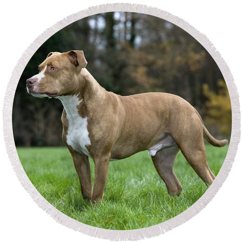 American Staffordshire Terrier Round Beach Towel featuring the photograph 111216p245 by Arterra Picture Library