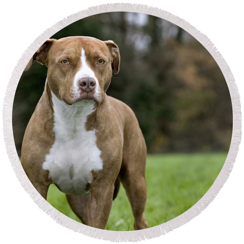 American Staffordshire Terrier Round Beach Towel featuring the photograph 111216p246 by Arterra Picture Library