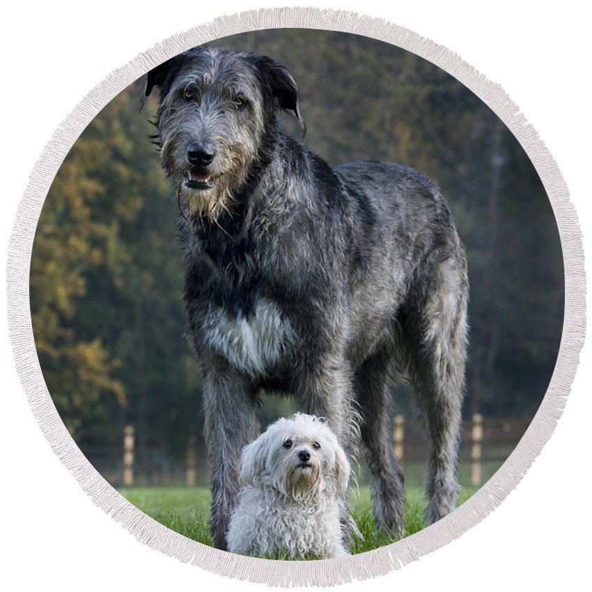 Irish Wolfhound Round Beach Towel featuring the photograph 111216p251 by Arterra Picture Library