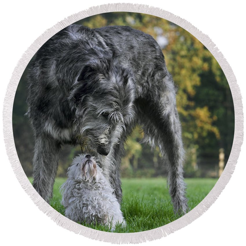 Irish Wolfhound Round Beach Towel featuring the photograph 111216p252 by Arterra Picture Library