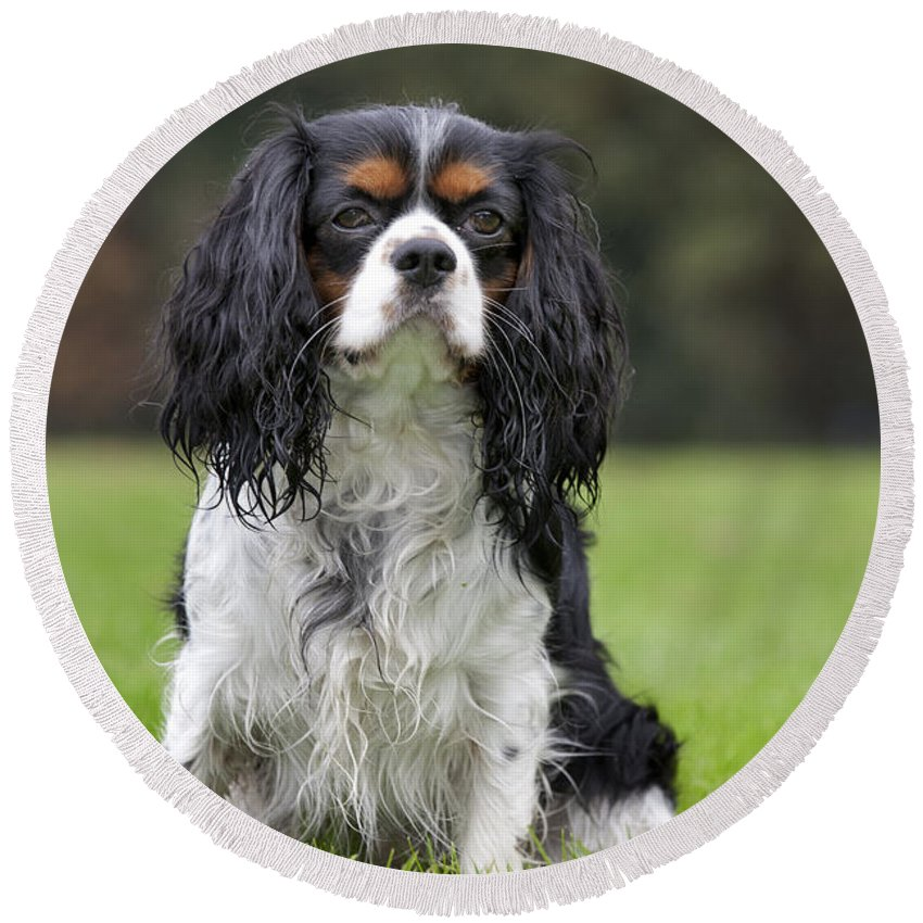 Cavalier King Charles Spaniel Round Beach Towel featuring the photograph 111216p255 by Arterra Picture Library