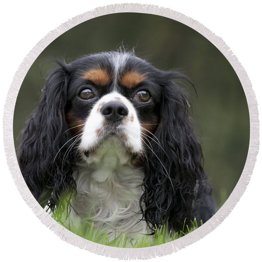 Cavalier King Charles Spaniel Round Beach Towel featuring the photograph 111216p256 by Arterra Picture Library