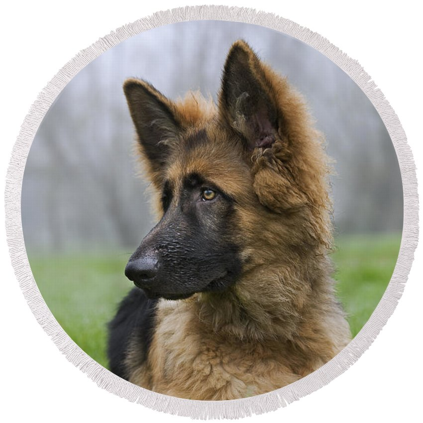 German Shepherd Round Beach Towel featuring the photograph 111216p333 by Arterra Picture Library