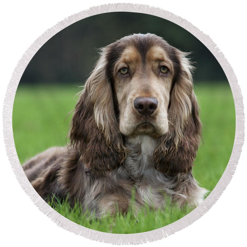 English Cocker Spaniel Round Beach Towel featuring the photograph 111230p046 by Arterra Picture Library