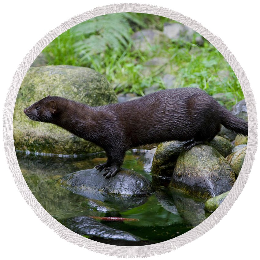 American Mink Round Beach Towel featuring the photograph 121213p013 by Arterra Picture Library