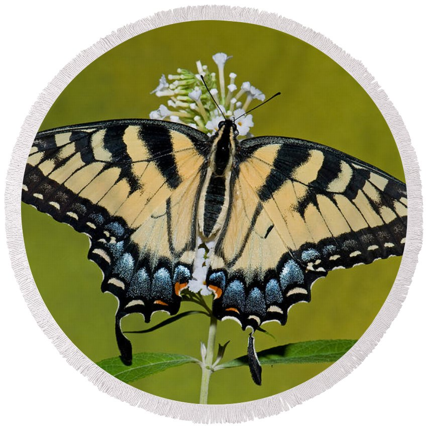 Nature Round Beach Towel featuring the photograph Eastern Tiger Swallowtail Butterfly by Millard H. Sharp