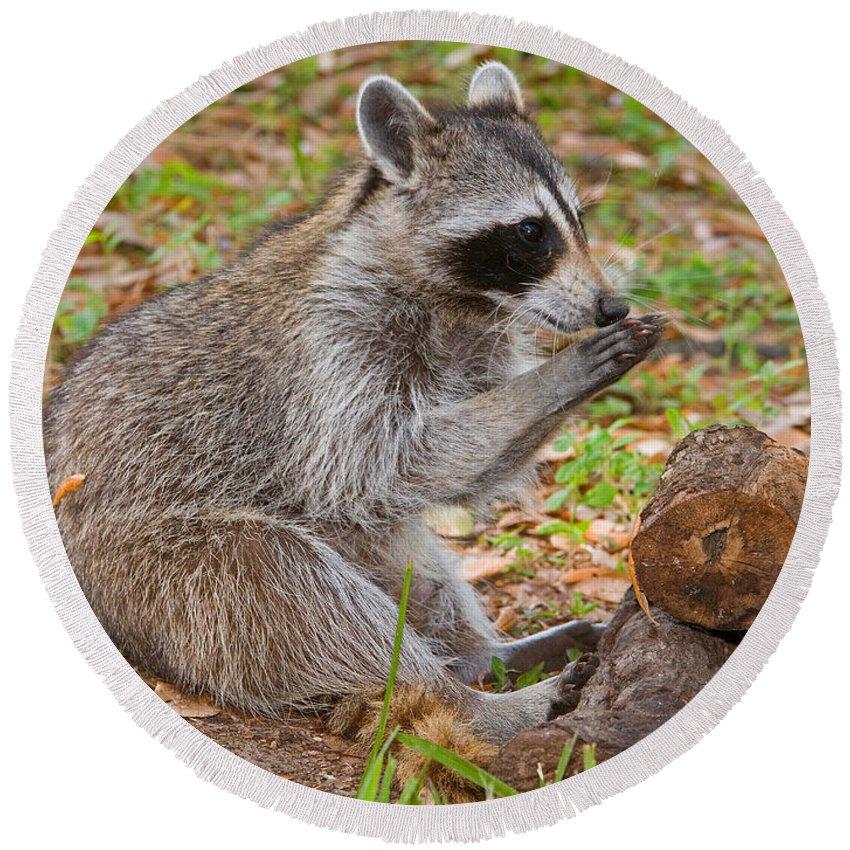 Raccoon (procyon Lotor) Round Beach Towel featuring the photograph Raccoon by Millard H. Sharp
