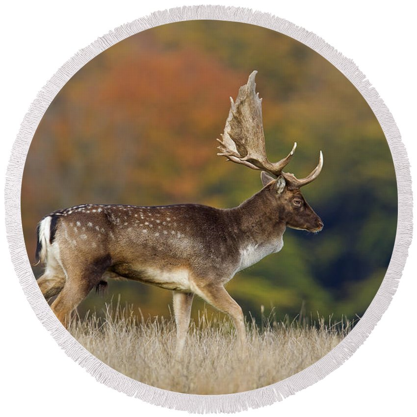 Fallow Deer Round Beach Towel featuring the photograph 130201p289 by Arterra Picture Library