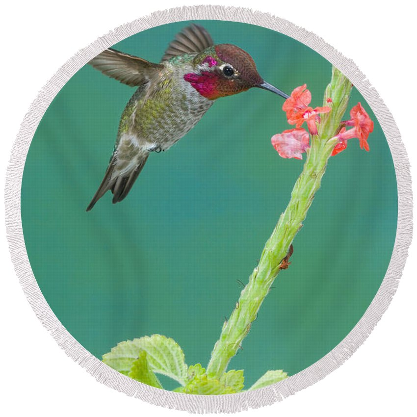 Anna's Hummingbird Round Beach Towel featuring the photograph Annas Hummingbird by Anthony Mercieca